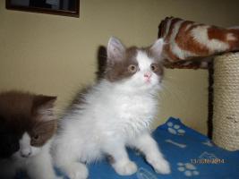 Foto 4 blh highlander .Den letzten beissen die Hunde, Wunderschöne Highlander Kitten