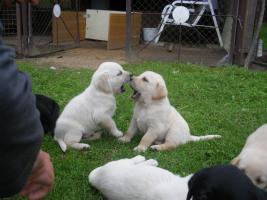 Foto 4 blonde und schwarze Labradorwelpen