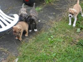 bordeauxdogge mix welpen