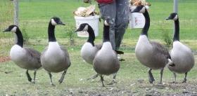 bratfertige Enten/ Gänse Bio-Fleisch