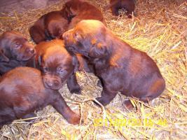 braune Labradorwelpen