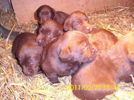 Foto 2 braune Labradorwelpen