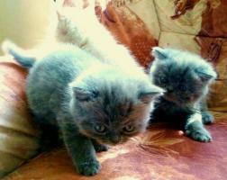 Foto 2 britisch kurzhaar kätzchen