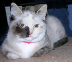 Foto 3 bunte BKH Katze mit blauen Augen