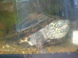 ch. Dreikiel-Schildkröte + gr. Aquarium+Pumpe, Schwimmteil