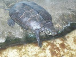 Foto 3 ch. Dreikiel-Schildkröte + gr. Aquarium+Pumpe, Schwimmteil
