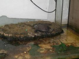 Foto 4 ch. Dreikiel-Schildkröte + gr. Aquarium+Pumpe, Schwimmteil