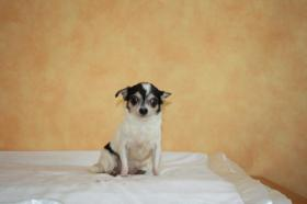 chihuahua dame sucht liebevolles zuhause