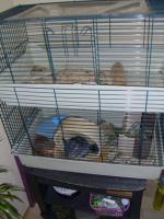 Foto 2 chinchilla zum verkaufen