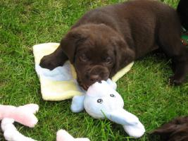 chocolate Labrador Retriever Welpen mit Papieren