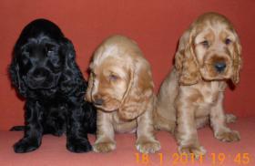 cocker spaniel babys suchen ein neues zuhause geb 23.11.2010