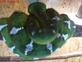 Foto 2 corallus caninus