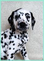 Foto 5 dalmatiner