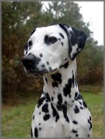 Foto 7 dalmatiner