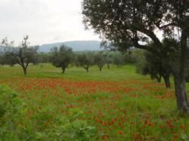 Foto 2 das flüssige Gold - fruchtiges ''natives Olivenöl extra'' aus der Toskana, Italien - Agriturismo ''il Melograno''