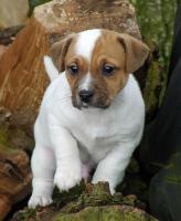 der Besondere Jack Russell Terrier