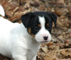 Foto 2 der Besondere Jack Russell Terrier