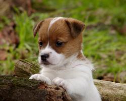 Foto 3 der Besondere Jack Russell Terrier