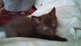 Foto 3 der s�sseste BKH Kitten Chocolate