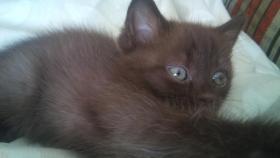 Foto 4 der s�sseste BKH Kitten Chocolate