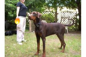 dobermannrüde in braun 1,5 Jhre