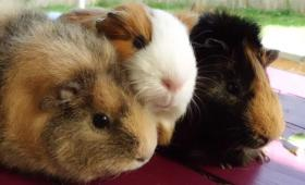 drei kleine schweinchen suchen...