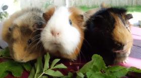 Foto 2 drei kleine schweinchen suchen...