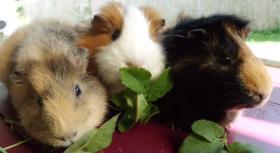 Foto 3 drei kleine schweinchen suchen...