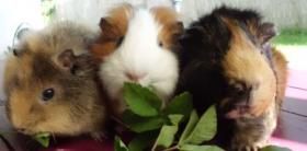 Foto 4 drei kleine schweinchen suchen...