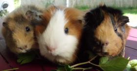 Foto 5 drei kleine schweinchen suchen...