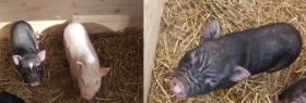 drei minischweine wegen umzug abzugeben