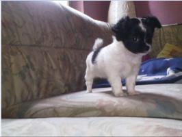 drei wunderschöne Langhaar Chihuahua Welpen