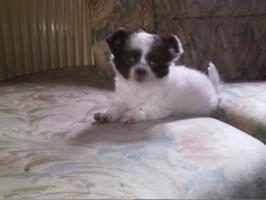 Foto 2 drei wunderschöne Langhaar Chihuahua Welpen