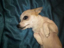 dringend Chihuahua Mädchen abzugeben