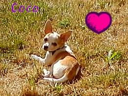 Foto 2 dringend Chihuahua Mädchen abzugeben