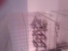 Foto 2 ein wellensitisch pärchen mit grossem käfig