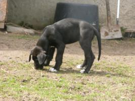 eine Deutsche Doggenhündin 11 Wochen alt abzugeben