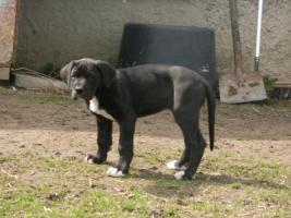 Foto 2 eine Deutsche Doggenhündin 11 Wochen alt abzugeben