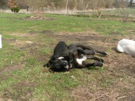 Foto 6 eine Deutsche Doggenhündin 11 Wochen alt abzugeben