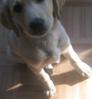 eine creme-weiße Labradordame