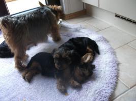 einen zuckersüßen Yorkshire Terrier Welpen