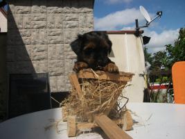Foto 3 einen zuckersüßen Yorkshire Terrier Welpen