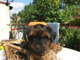 Foto 4 einen zuckersüßen Yorkshire Terrier Welpen