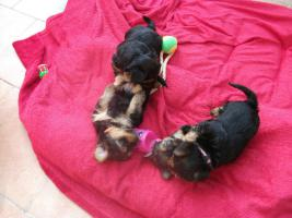 Foto 5 einen zuckersüßen Yorkshire Terrier Welpen