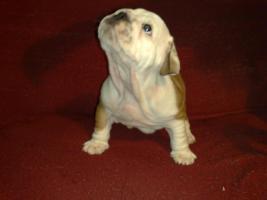 Foto 10 englisch bulldogg