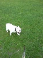 englische bulldogge 11 monate alt in weiss