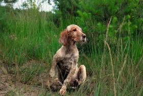 english setter camille