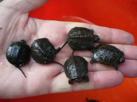 europ. Sumpfschildkrötenbabys aus 2011
