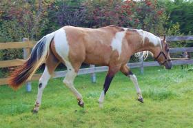 exklusiver Paint Horse Deckhengst mit top Abstammung und toller Farbe