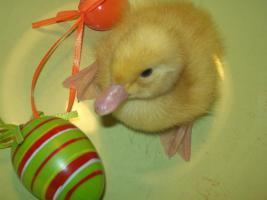 frisch geschlüpfte Peking-Enten, je 3,50 €